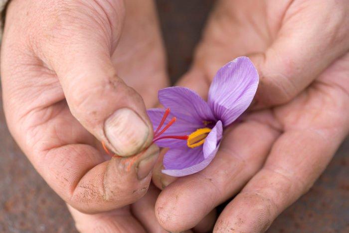 Come coltivare zafferano in vaso e a terra