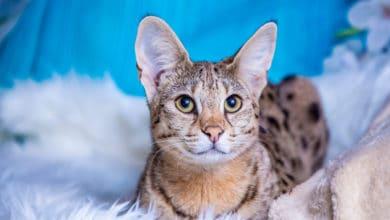 Photo of Gatto savannah: tutto sul gatto più lungo del mondo