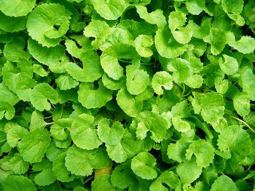 Photo of Centella: proprietà e controindicazioni di questa pianta