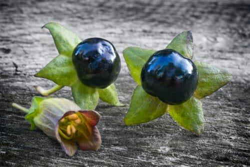 Fiore e bacche di belladonna