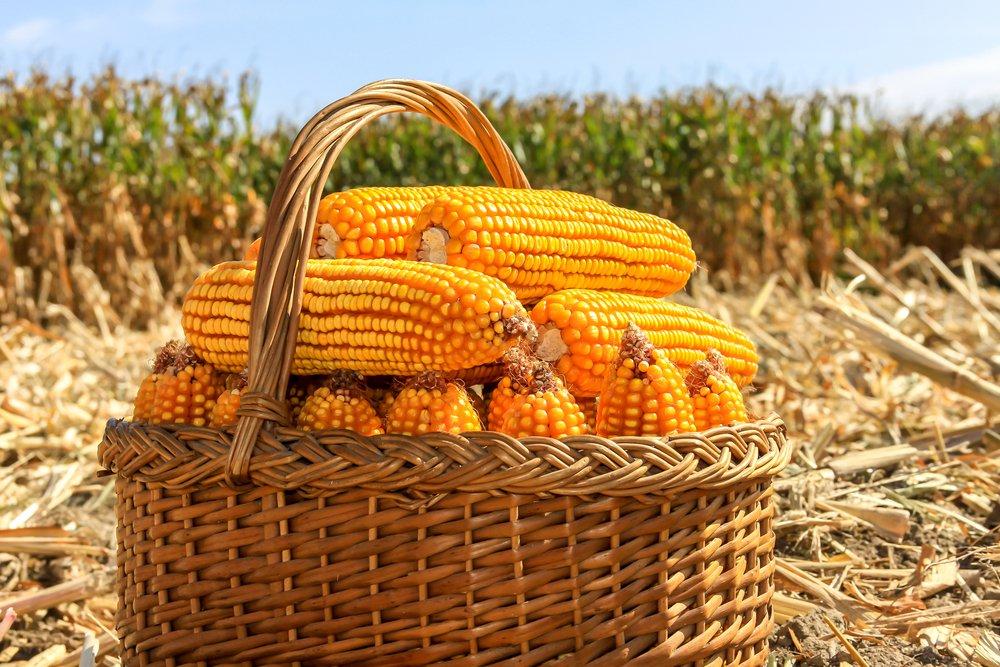Photo of Mais OGM: cos'è veramente? Dobbiamo averne paura?