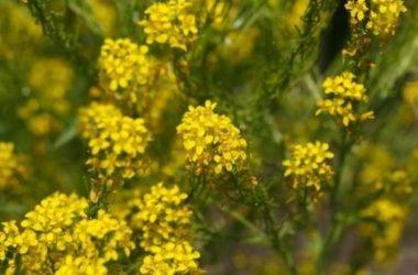 Tutte le proprietà dell'erisimo o erba dei cantanti, la pianta amica della gola