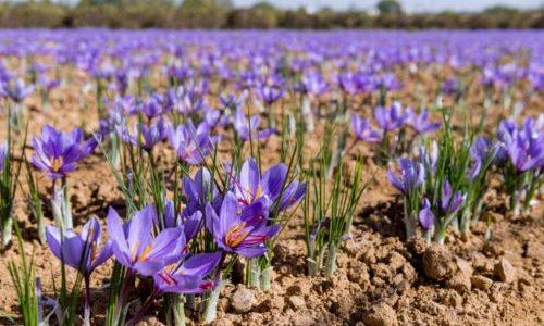 Photo of Scoprite come coltivare lo zafferano sia in vaso che a terra per avere dei meravigliosi fiori viola e un po' di giallo nei vostri risotti…