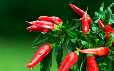 Come coltivare peperoncino in vaso e a terra