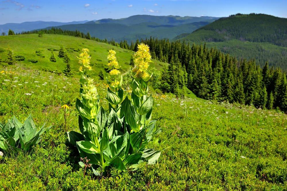 Photo of Le proprietà della genziana, una delle principali piante curative