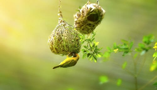 uccelli tessitori