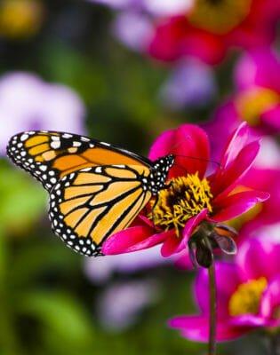 farfalla monarca migrazioni