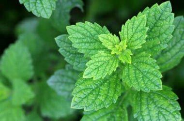 Melissa, la pianta dall'aroma di limone che calma l'ansia e aiuta a dormire