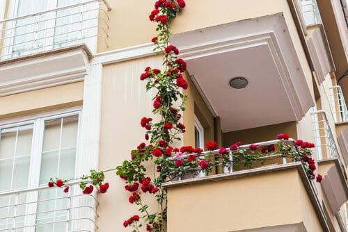coltivare rose I consigli pratici per coltivare rose in vaso o a terra