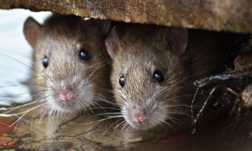 Come catturare un topo in casa? - Roba di Casa