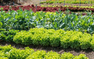 I lavori dell'orto di giugno: cosa seminare, raccogliere e potare
