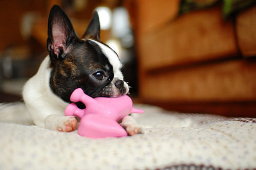 boston terrier temepramento