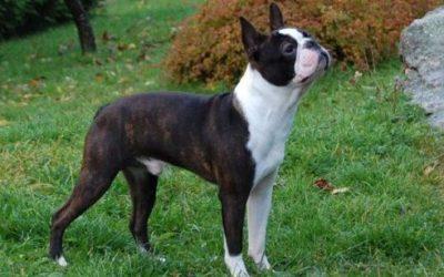 Boston terrier: carattere e peculiarità