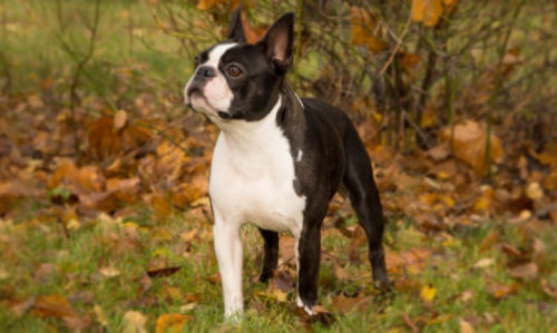 boston terrier cane