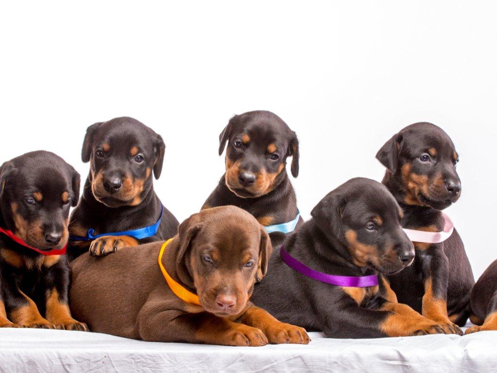 Photo of Guida al Dobermann, i cuccioli, il carattere, l'allevamento e l'alimentazione e molte altre cose da sapere