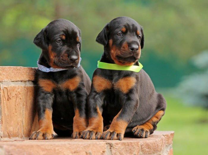 Dobermann cuccioli carattere allevamento e altre cose for Pincher cucciolo