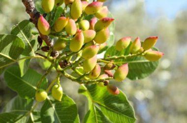 Pistacchio: proprietà, benefici e ricette