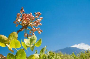 Una specialità alimentare unica: il pistacchio di Bronte, l'oro verde della Sicilia