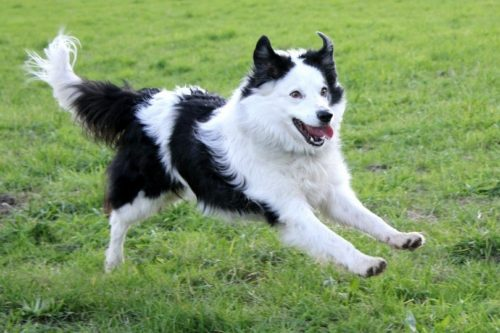 border collie razza