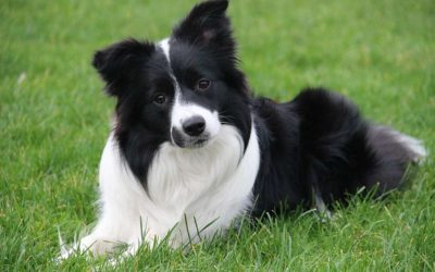 Border Collie Appartamento