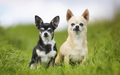 Chihuahua Toy: carattere e peculiarità di questa razza di cani