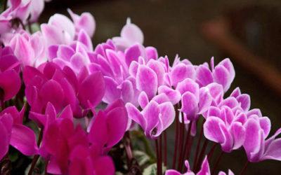 Ciclamino: cura e coltivazione in casa, in giardino e in terrazzo