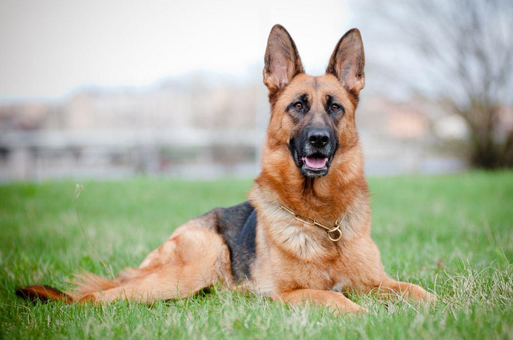 Photo of Scopriamo tutto sul cane pastore tedesco, carattere, educazione e addestramento