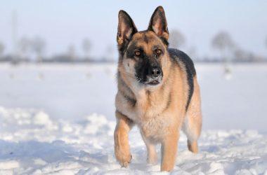 Scopriamo tutto sul cane pastore tedesco, carattere, educazione e addestramento