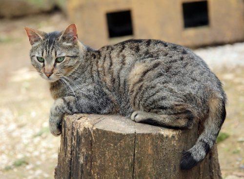 Gatto soriano carattere educazione e aspetto tuttogreen - Gatto solo in casa per 15 giorni ...