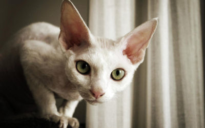 Gatto Devon Rex: carattere, educazione e aspetto