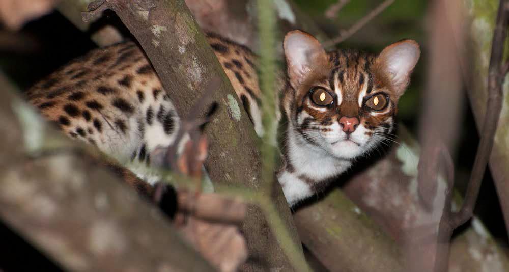 Photo of Gatto leopardo: carattere, educazione e aspetto
