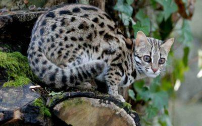 Gatto leopardo: carattere, educazione e aspetto