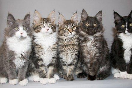 Photo of Tutto sul gatto Maine Coon, dal carattere all'educazione ai consigli per la vita in appartamento
