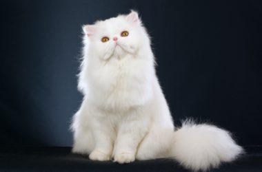 Gatto persiano: carattere, educazione e aspetto
