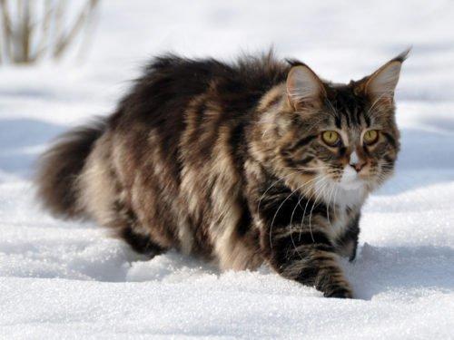 Gatto Siberiano Carattere Educazione E Aspetto Tuttogreen