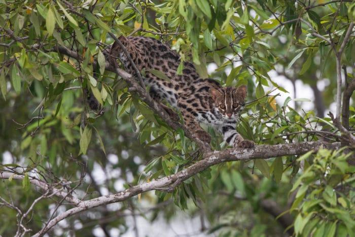 gatto leopardo