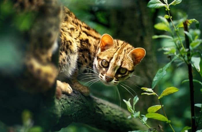 gatto leoopardo