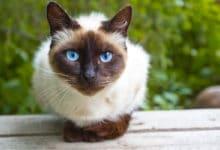 Photo of Gatto siamese: le cose da sapere su questo gatto dall'aspetto inconfondibile