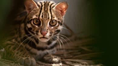 Photo of Tutto sul gatto leopardo, una specie protetta che vive soprattutto nel Sud-est asiatico