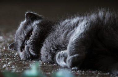 Gatto nero: carattere, storia e razze