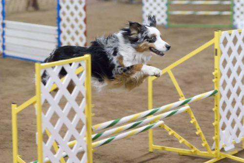 Pastore australiano Australian Shepherd agility dog