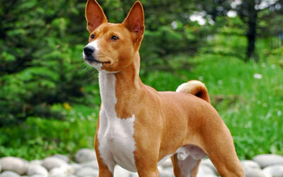 Cane Basenji: carattere, educazione e aspetto