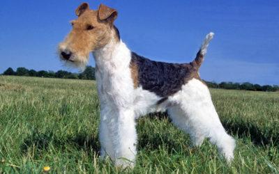 Fox Terrier: carattere, educazione e aspetto
