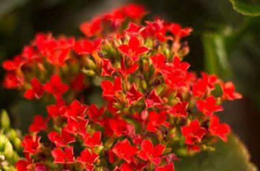 Kalanchoe: cura e coltivazione di questa pianta