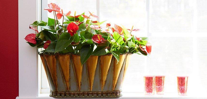 Photo of Anthurium: come curarlo e coltivarlo