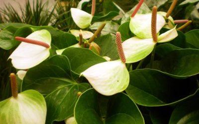 Anthurium come curarlo e coltivarlo tuttogreen for Piante secche ornamentali