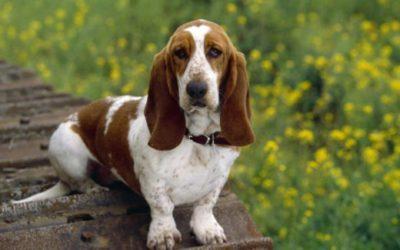 Tutto sul Bassethound, un cane molto simpatico