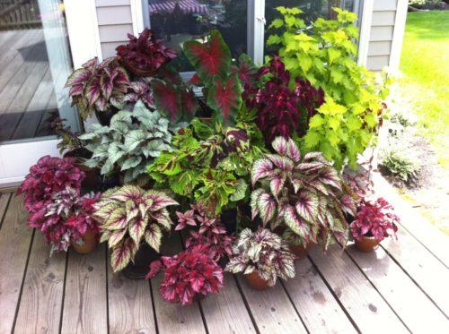Piante Da Appartamento Begonia.Begonia Varieta Fiori E Guida Pratica Per Coltivarla In Casa O
