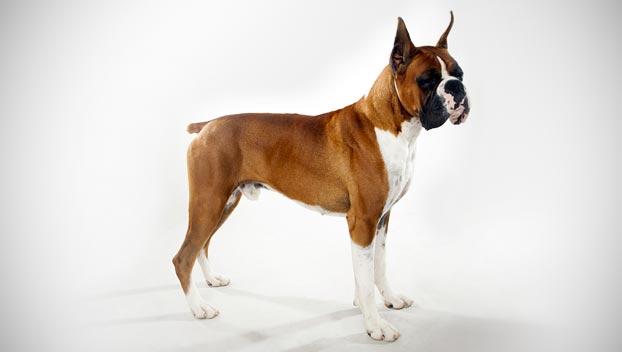 Photo of Boxer: carattere ed educazione di questa razza di cani