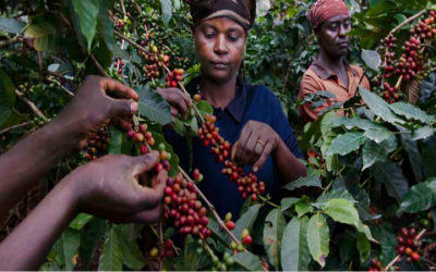 Coi cambiamenti climatici rischiamo di perdere metà delle piantagioni di caffè